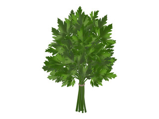 bunch of fresh parsley, coriander on a white background. Realistic style. Vector illustration.