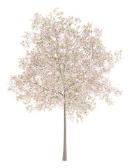 flowering cherry tree isolated on white background