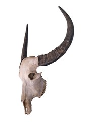 skull, animal, deer, bull, head, isolated, horns, cow, antlers, horn, white, trophy, skeleton, mammal, bone, cattle, nature, death, hunting, stag, dead, bones, antler, wildlife, horned