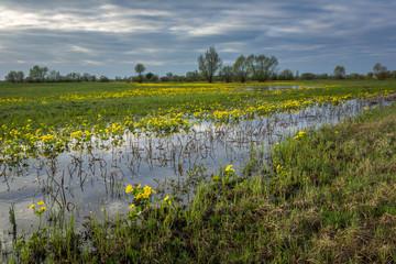 Marsh Marigold on the Narew river in Podlasie, Poland