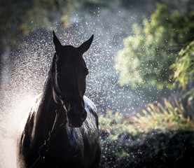 polo pony having a wash down after playing polo in Sotogrande