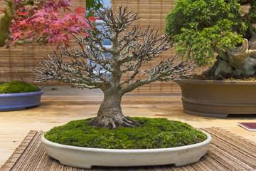 Bonsai tree  - Trident maple