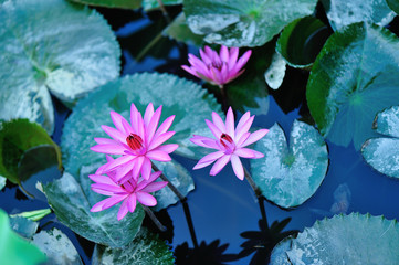 Top view of beautiful pink lotus flower with green leaves in pond