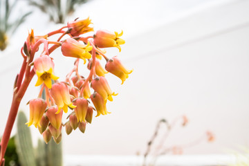 Small yellow flowers of succulent with white wall as backdrop outdoors. Room for text.