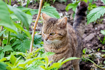 Young striped cat walking in  garden among  raspberry bushes and watching closely whether there is any danger_