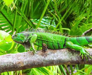 Cute green iguana (Latin - Iguana iguana) in nature habitat. Close-up view of large herbivorous lizard sitting on a tropical tree branch with green leafs in the Fort Lauderdale area, Florida, USA.