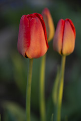 Red tulips against a dark background