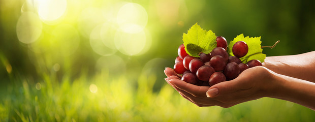 Female Hands with Freshly Harvested Red Grapes. Grapes Harvest