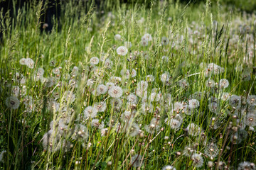 Fluffy white dandelions on a meadow. Wonderful rural landscape. Green lawn with wildflowers. Summer countryside environment. White blowball.