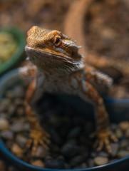 Bearded dragon (Pogona vitticeps). Close up.