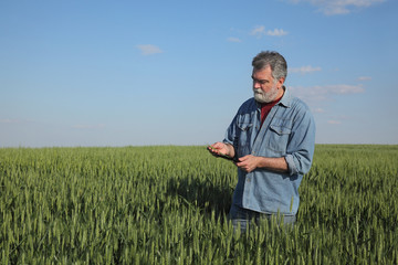 Farmer or agronomist inspecting quality of wheat in early spring using tablet, agriculture