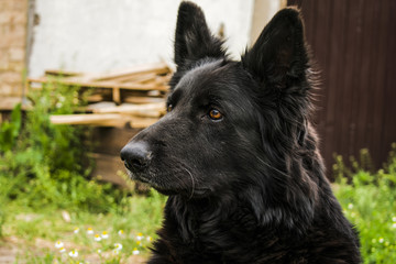 Black Beauty German Shepherd. The best friend of man from among the animals
