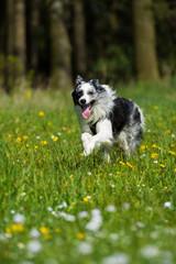 Border Collie rennt durch eine Frühlingswiese