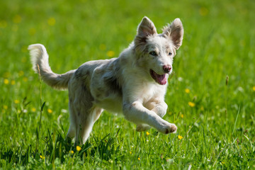 Running border collie puppy in a spring meadow