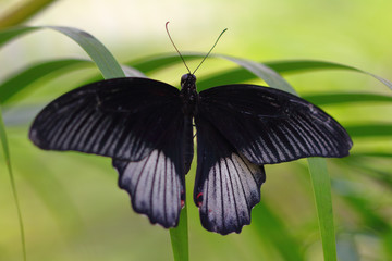 Black-white tropical butterfly on the leaf
