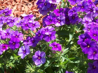Mounding purple phlox