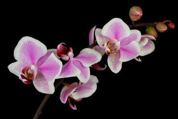 Pink-white orchid (Orchidaceae) flower on the black background