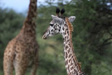 Masai Giraffe, Baby Giraffe around two weeks old, Serengeti, Tanzania