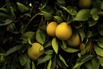 Close-up of sweet limes growing on tree