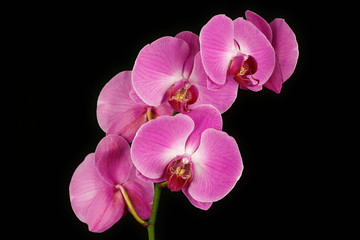 Pink orchid (Orchidaceae) flower on the black background