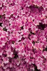 Pattern fiori rosa