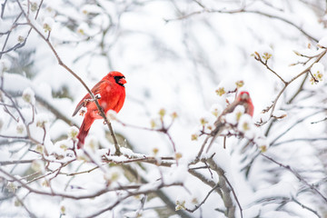 Closeup of one vibrant saturated red northern cardinal, Cardinalis, bird sitting perched on tree branch during heavy winter snow colorful in Virginia, snow flakes falling by finch