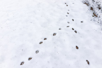 Closeup of fox tracks in backyard of house on snow covered ground after blizzard white storm in Virginia suburb