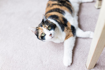 Calico cat looking up lying on carpet adorable cute big eyes under table