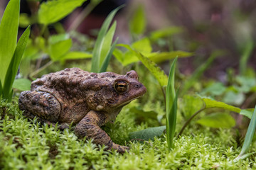 Tuinposter Kikker Toad sitting on mossy forest floor