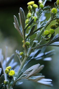 Close-up of an Artemisia absinthium, also known as wormwood.