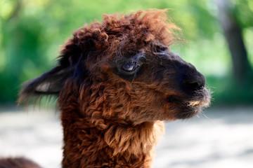 Domesticated Huacaya Alpaca (Vicugna pacos), nicety of head.