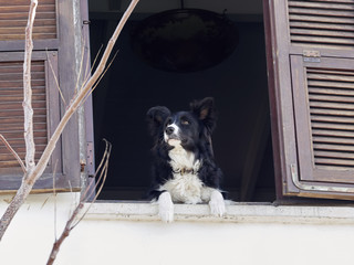 A cute black dog with a white wool on his stomach peeking out of the window of an old house with a wooden vintage frame sash.