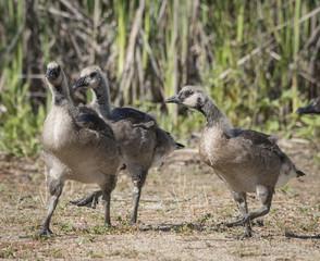 Half Fledged Canada Geese
