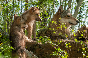 Fotomurales - Grey Wolf (Canis lupus) and Pups Look Right Atop Rock