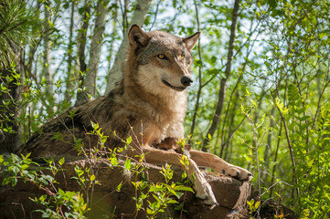 Fotomurales - Grey Wolf (Canis lupus) Sits With Pup Underneath Her