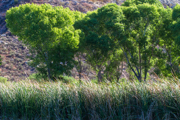 Tall cottonwood trees and marsh grasses beside the lagoon in Dead Horse Ranch State Park near Cottonwood, Arizona