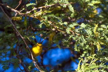 Wilson's Warbler during migration perches in a native Honey Mesquite tree in Dead Horse Ranch State Park near Cottonwood, Arizona