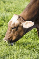 Fototapete - Swiss brown cattle grazes on a spring morning on a meadow in the foothills of Switzerland