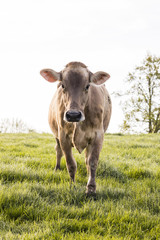 Wall Mural - A young calf of the breed Swiss Brown cattle stands on a spring morning in a meadow in the foothills of Switzerland and looks curiously into the photographer's camera