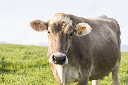 Wall mural A young calf of the breed Swiss Brown cattle stands on a spring morning in a meadow in the foothills of Switzerland and looks curiously into the photographer's camera
