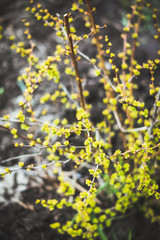 Barberry bush with new leaves in the garden. Selective focus. Shallow depth of field.