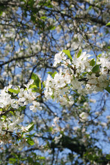 Sour cherry tree flowers on branch in springtime against blue sky