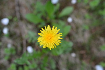 close-up of yellow dandelion flower
