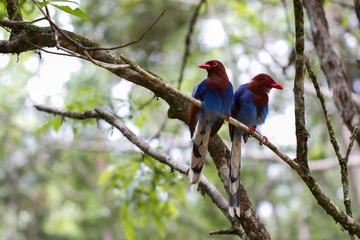 Ceulon Blue Magpie Rainforest Birds