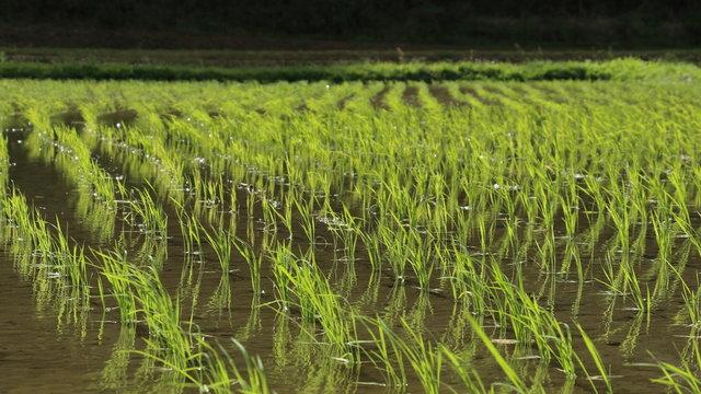 5月末の午後の水田の情景