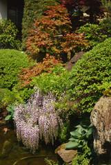dropping wisteria flowers and fresh maple leaves @mini-garden(japanese style) / ミニチュア日本庭園の枝垂れ藤とイロハモミジ