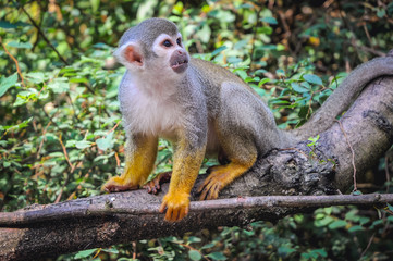 Common squirrel monkey sits on a tree branch