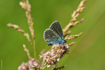 Blue lycaenidae butterfly on the meadow wildplant