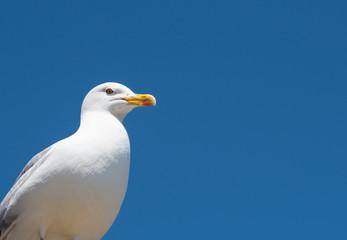 Portrait of  seagull