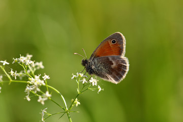 Brown lycaenidae butterfly on the meadow wildplant